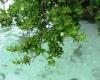 anakan-mangrove