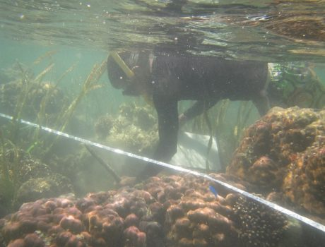 Monitoring of the Banggai Cardinalfish population in Banggai